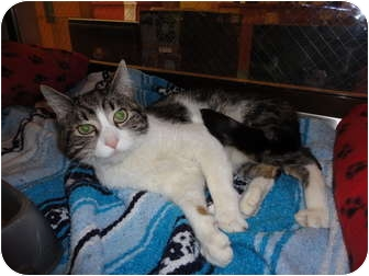 Domestic Shorthair Cat for adoption in Kingston, Washington - Baxter