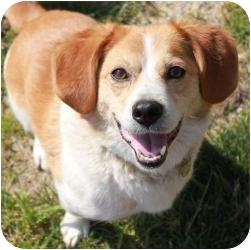 Beagle/Basset Hound Mix Dog for adoption in Staunton, Virginia - Toby