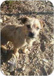 Terrier (Unknown Type, Small) Mix Puppy for adoption in Lonedell, Missouri - Bentley-B