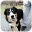 Photo 1 - Bernese Mountain Dog Mix Dog for adoption in Hagerstown, Maryland - Bernie