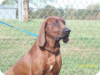 Redbone Coonhound Dog for adoption in White Cloud, Michigan - Banjo