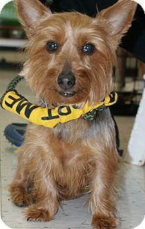 Yorkie, Yorkshire Terrier Mix Dog for adoption in Rockaway, New Jersey - Vixen