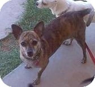 Chihuahua/Dachshund Mix Dog for adoption in Mesa, Arizona - Spicy