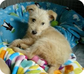 Terrier (Unknown Type, Medium) Mix Puppy for adoption in Minneapolis, Minnesota - Joey