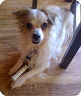 Chinese Crested Dog for adoption in Sedona, Arizona - Jake