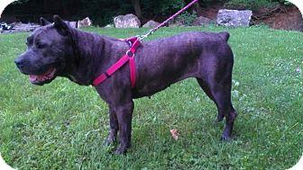 Cane Corso Mix Dog for adoption in Roaring Spring, Pennsylvania - Chloe