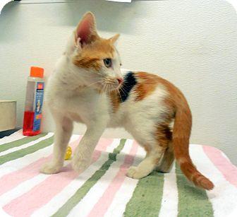 Domestic Shorthair Kitten for adoption in Sylva, North Carolina - Rielley