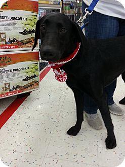 Labrador Retriever/Weimaraner Mix Dog for adoption in Orland Park, Illinois - Charlie
