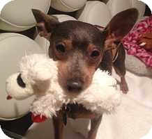 Miniature Pinscher Dog for adoption in Syracuse, New York - Scooby