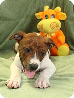 Pit Bull Terrier Mix Puppy for adoption in Salem, New Hampshire - Ozzie