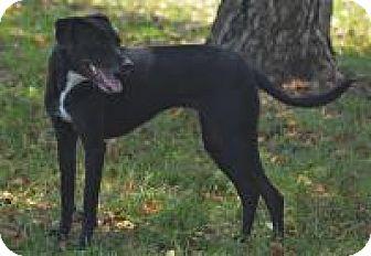 Whippet/Labrador Retriever Mix Dog for adoption in Jacksonville, Arkansas - Ella