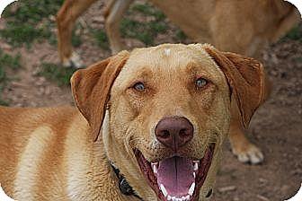 Labrador Retriever Mix Dog for adoption in Russellville, Kentucky - Tucker
