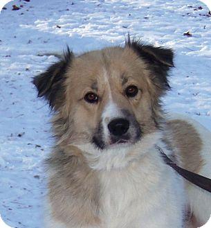 Golden Retriever/Great Pyrenees Mix Dog for adoption in Minneapolis, Minnesota - Sheba