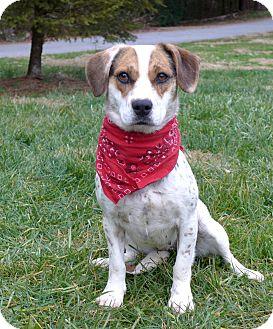 Beagle/Setter (Unknown Type) Mix Dog for adoption in Mocksville, North Carolina - Freckles