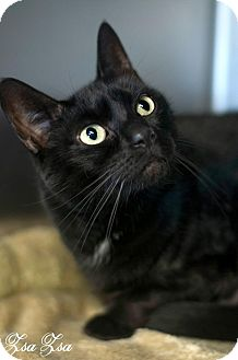 Domestic Shorthair Cat for adoption in Manahawkin, New Jersey - Zsa Zsa