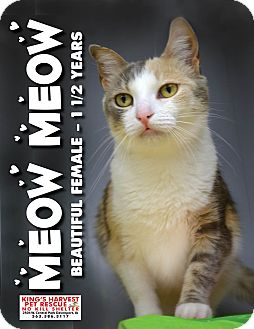 Domestic Shorthair Cat for adoption in Davenport, Iowa - Meow Meow
