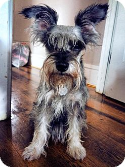 Miniature Schnauzer Dog for adoption in Nesquehoning, Pennsylvania - Mousey