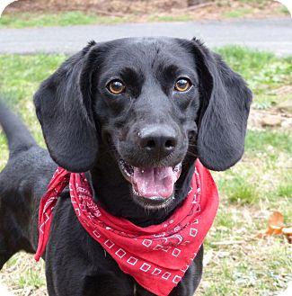 Labrador Retriever/Beagle Mix Dog for adoption in Mocksville, North Carolina - Brody