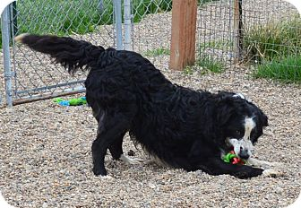 Border Collie/Shepherd (Unknown Type) Mix Dog for adoption in Prole, Iowa - Chip