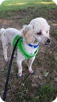 Poodle (Miniature) Dog for adoption in Hazard, Kentucky - Tinker