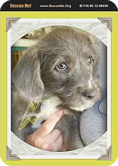 Poodle (Miniature) Mix Puppy for adoption in Los Angeles, California - Fuzz Lightyear