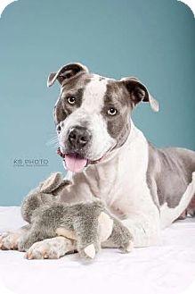 American Bulldog/Pit Bull Terrier Mix Dog for adoption in PORTLAND, Maine - Bruno