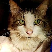 Adopt A Pet :: TomTom - Cambridge, MD