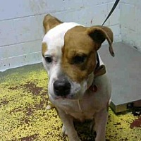 Adopt A Pet :: ROXIE - Atlanta, GA