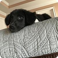 Adopt A Pet :: Mollie - Norwich, CT