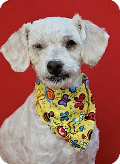 Poodle (Standard)/Terrier (Unknown Type, Medium) Mix Dog for adoption in Irvine, California - Earl