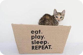 Domestic Shorthair Kitten for adoption in Chico, California - America
