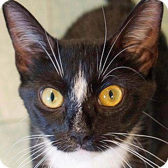 Domestic Shorthair Cat for adoption in Sprakers, New York - Olivia