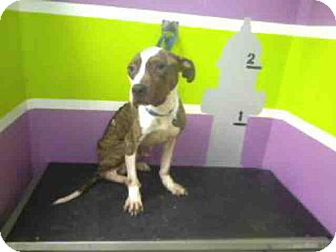 American Staffordshire Terrier Mix Dog for adoption in Houston, Texas - A1501383