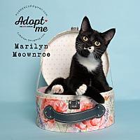 Adopt A Pet :: Marilyn Meownroe - Pearland, TX
