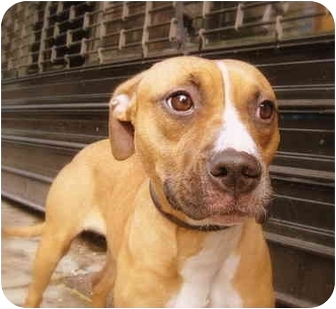 Staffordshire Bull Terrier/Boxer Mix Puppy for adoption in NYC, New York - Bella