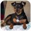 Photo 1 - Miniature Pinscher Dog for adoption in Springvale, Maine - Rocky
