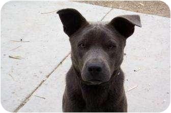 Labrador Retriever/Shepherd (Unknown Type) Mix Puppy for adoption in Tucson, Arizona - Gordo