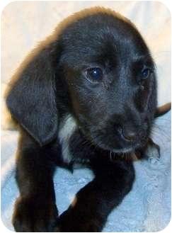 Dachshund/Beagle Mix Puppy for adoption in Detroit, Michigan - Aggie