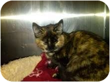 Domestic Shorthair Cat for adoption in Medina, Ohio - Chewy