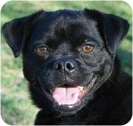 Pug Mix Dog for adoption in Plainfield, Connecticut - Otis