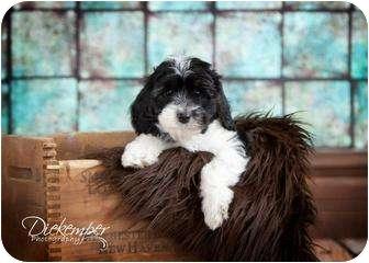 Cockapoo Mix Puppy for adoption in Vandalia, Illinois - Girl 5
