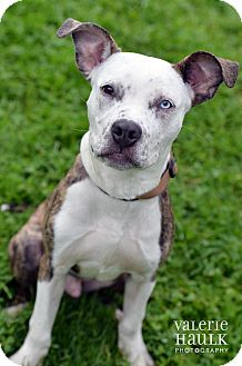 Pit Bull Terrier Mix Puppy for adoption in Columbus, Ohio - Memphis