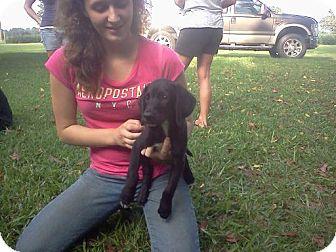 Labrador Retriever/Hound (Unknown Type) Mix Puppy for adoption in West Bridgewater, Massachusetts - Clayton