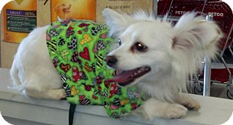 Chihuahua Mix Dog for adoption in San Angelo, Texas - Blanca ~ Courtesy listing