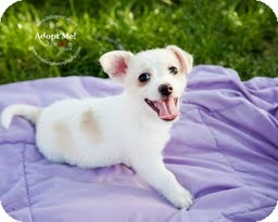 Chihuahua/Terrier (Unknown Type, Small) Mix Puppy for adoption in Shawnee Mission, Kansas - The Wizard