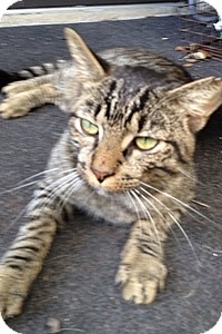 Domestic Shorthair Cat for adoption in Tampa, Florida - Badger