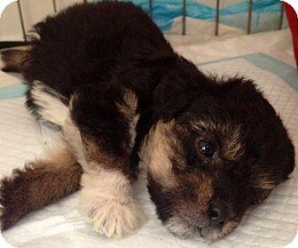 Spaniel (Unknown Type)/Terrier (Unknown Type, Medium) Mix Puppy for adoption in Encino, California - James Grape