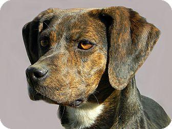 Hound (Unknown Type) Mix Dog for adoption in Mountain Center, California - Tessa