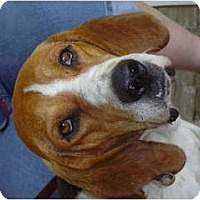Adopt A Pet :: Treeing Walker Coonhound - Carrollton, GA