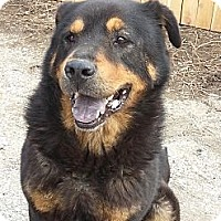 Adopt A Pet :: Bear - Indianapolis, IN